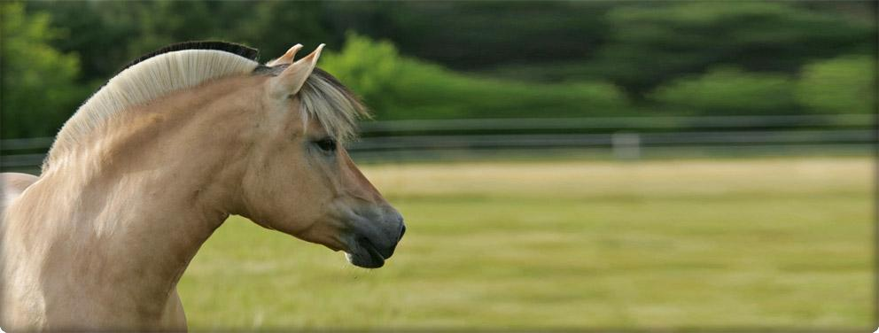 beautiful fjord horse mare photo by Bob Langrish