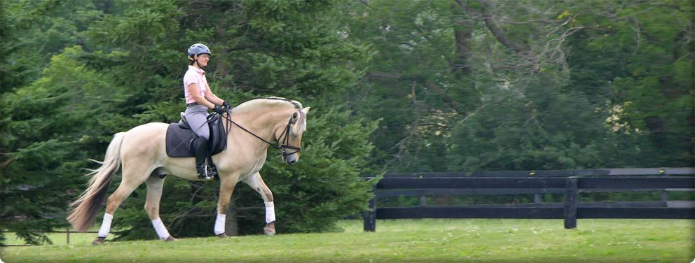 fjord horse gelding riding outside
