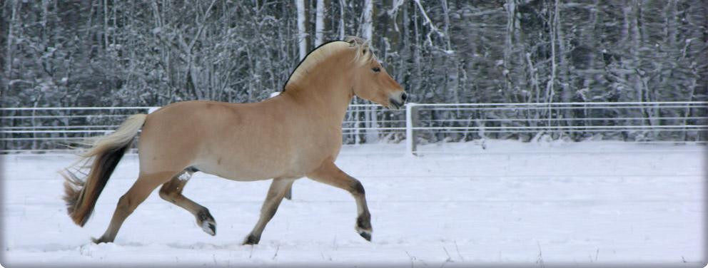 fjord horse stallion trotting through snow