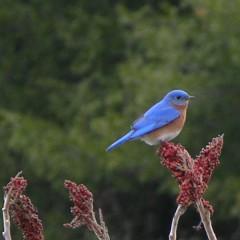 A male Eastern Bluebird on our Sumac tree