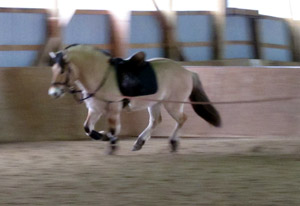 Fjord Horse Cantering on the Lunge